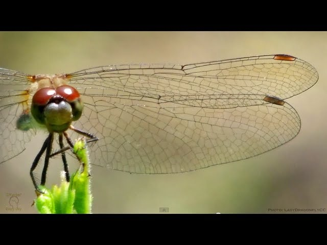 Dragonfly Wings In Slow Motion